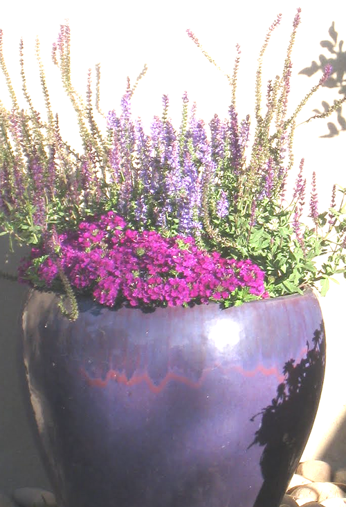 Potted Purples in the Desert